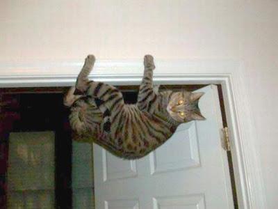 gato assustado se pendura na porta