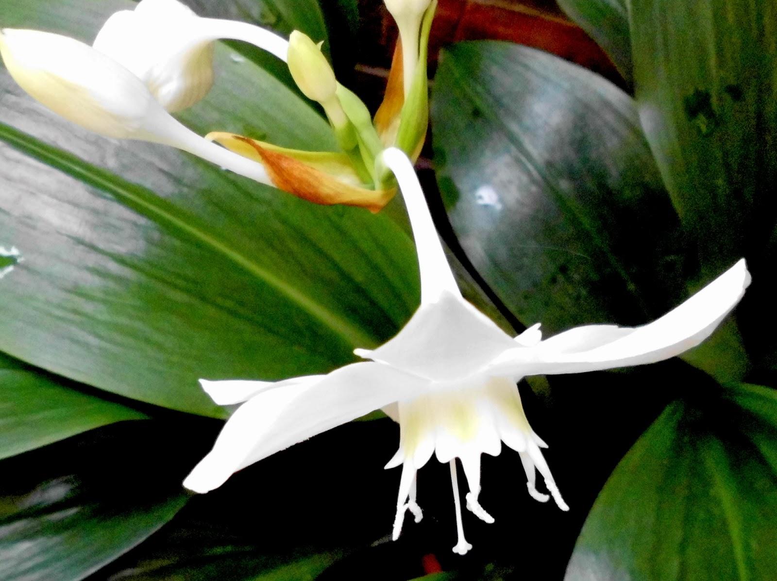 Planta con tallos peludos y flores blancas