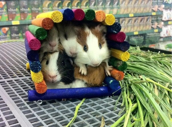 Funny animals of the week - 27 December 2013 (40 pics), guinea pigs fit in small house
