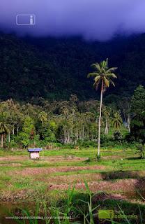 Pohon Kelapa Maninjau