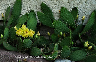 Eastern Pickly Pear Cactus