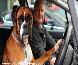 Anjing ini kesal ditinggal majikan