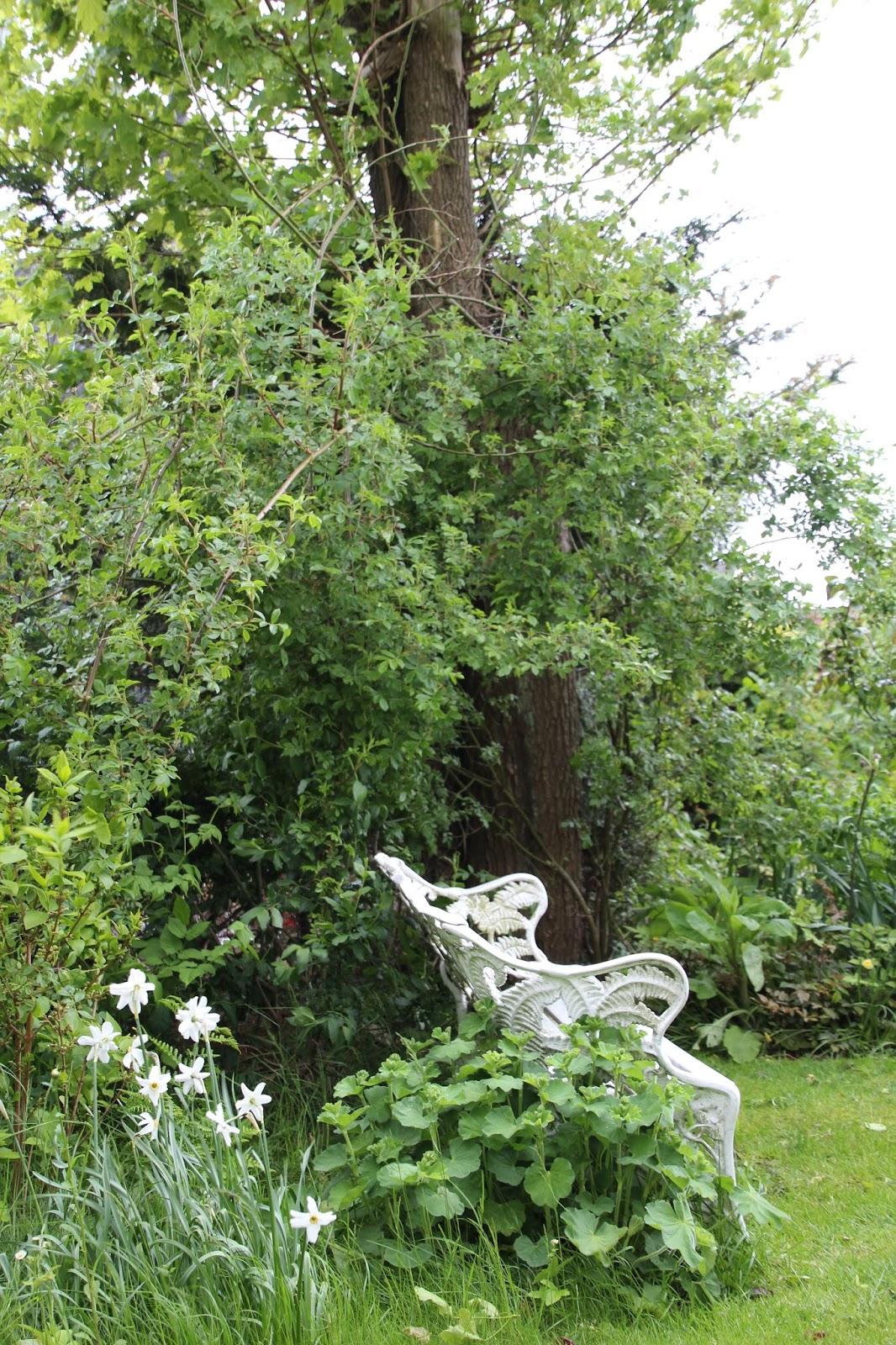 honungsros rosa helenae