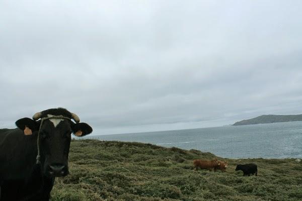 costa da morte cabo touriñan vacas