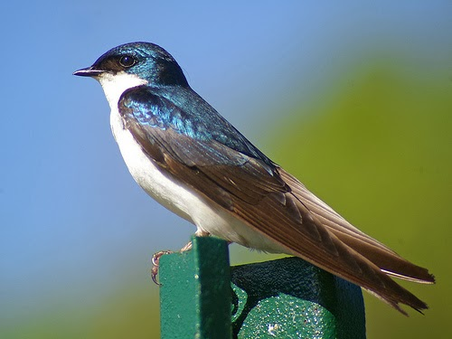 Tree Swallow Facts 40