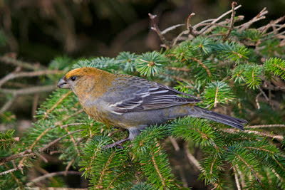 Pine Grosbeak - Phil Woollen