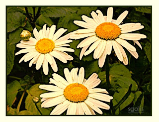 Shasta Daisies in the Garden