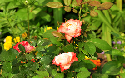 Tema Rosas Microsoft Windows - Rosas De Colores Imagenes