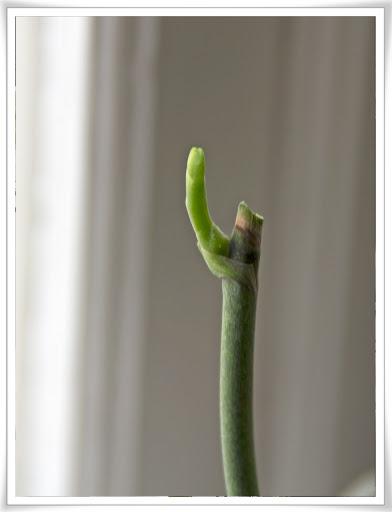 Orkidén har ökat säkert en millimeter från dagen innan