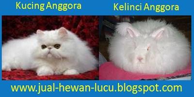 Jual Hewan Lucu | Jual Kucing Anggora | Jual Kelinci Anggora  Hubungi : Dany Talot  082348278492  | Ridwan : 085242878252 Kunjungi : www.jual-hewan-lucu.blogspot.com