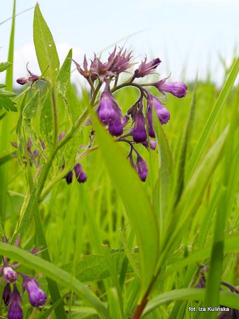 żywokost lekarski, łąka , wiosna , rośliny