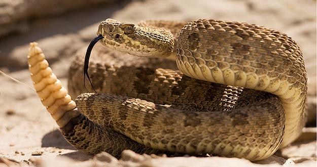 Crotalus durissus - Wikipedia