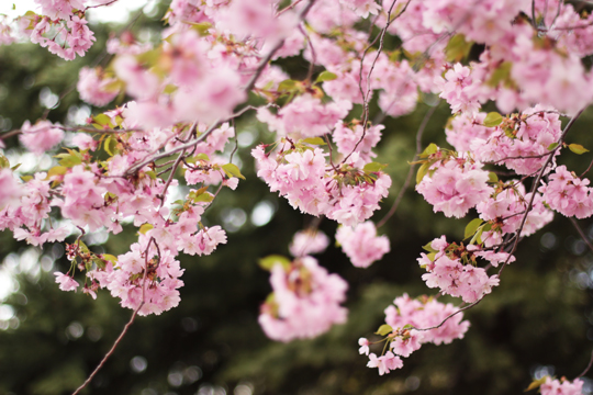 pink cherry tree flowers
