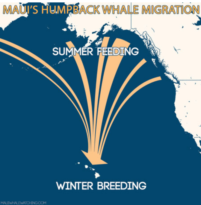 factors affecting humpback whales annual migration from southeast alaska to hawaiian islands Humpback whales' annual migration brings them to hawaiian waters beginning in november, and their the kohola travel thousands of miles from frigid alaskan waters, and arrive in each year, the hawaiian islands humpback whales national marine sanctuary conducts a whale count to provide.