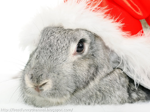 Bunny in red cap.