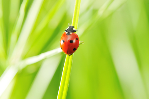 On Ladybugs