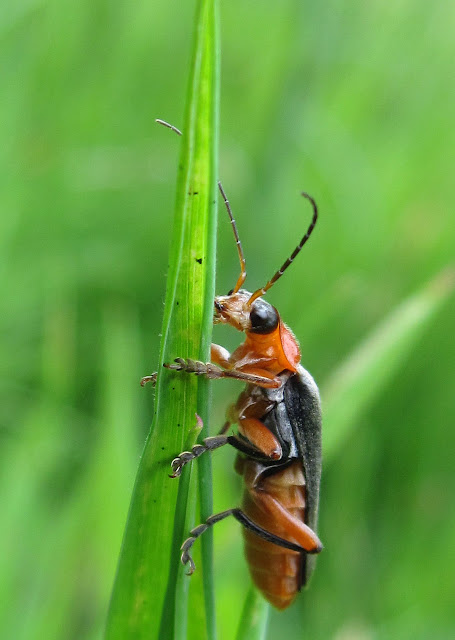 Cantharis pellucida, a soldier beetle, in a wet Ravensbourne Meadow.  28 May 2011.