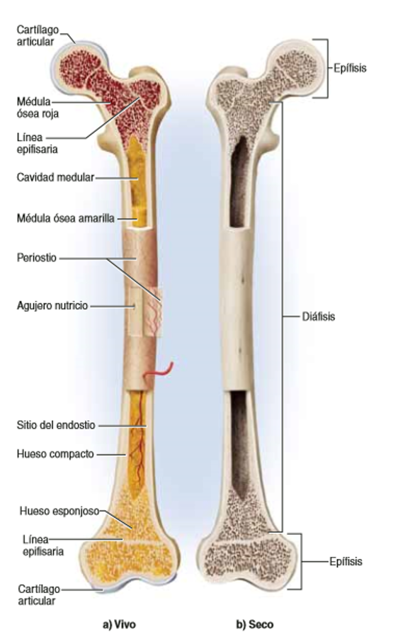 morfofisiologia: sistema esqueletico