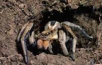 laba-laba rubah
