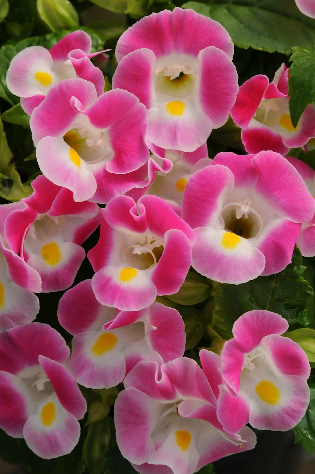 Petal talk newest annuals for sun and shade newest annuals for sun and shade izmirmasajfo
