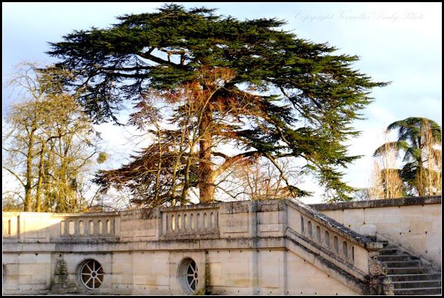 Cèdre du Liban Petit Trianon Lebanon Cedar Versailles