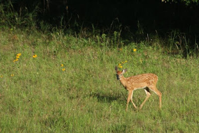 fawn of the year, 2015