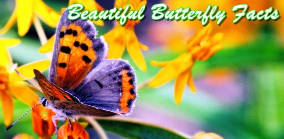 beautiful-butterfly-facts