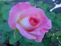 trandafirul-printesa-diana