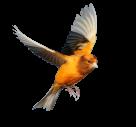Pássaro fundo transparente png