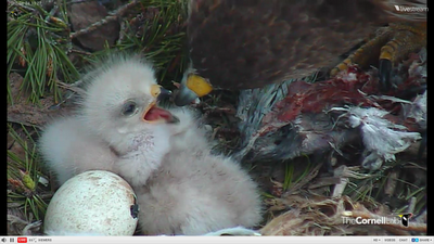 Image of Red-tailed Hawk nestling taking food from adult