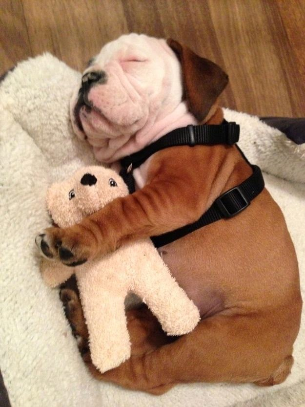 bulldog puppy snuggling with stuffed animal