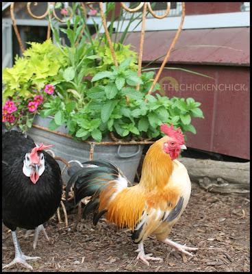 Caesar, sassy little Serama rooster.
