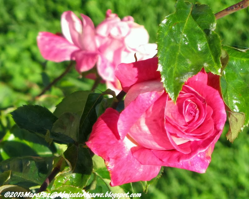 Pink'n white roses