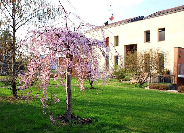 Il mondo in un giardino il mio ciliegio giapponese da - Ciliegio da giardino ...