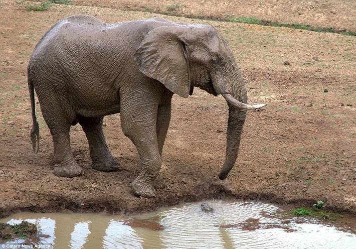 Crocodile Tried To Catch Elephant