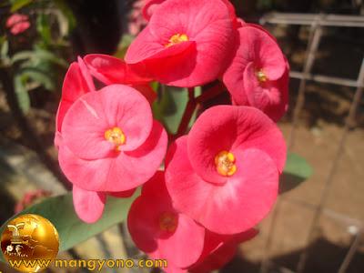 FOTO : Bunga euphorbia di halaman rumah admin