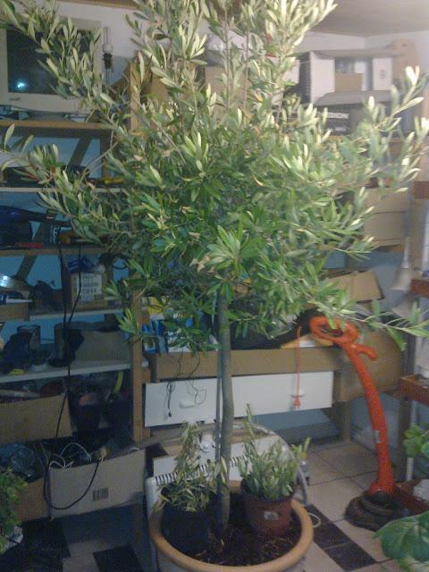 hvordan passer man et oliventræ
