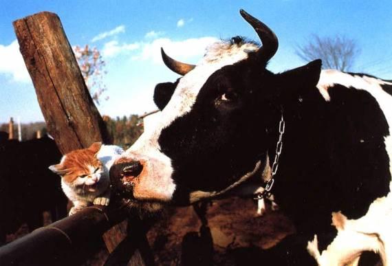 корова и кот