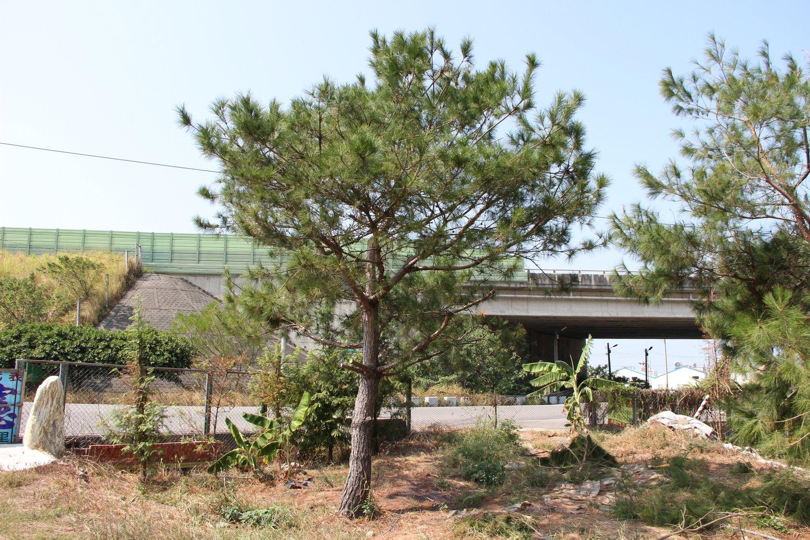 水杉  (天下第一杉)  新力農場
