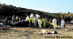 Garganistan Gargano Considerazioni e chiarimenti sullo spiaggiamento dei 7 Capodogli nel 12/2009 di Guido Pietroluongo