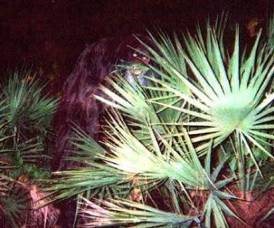Skunk Ape Florida Video