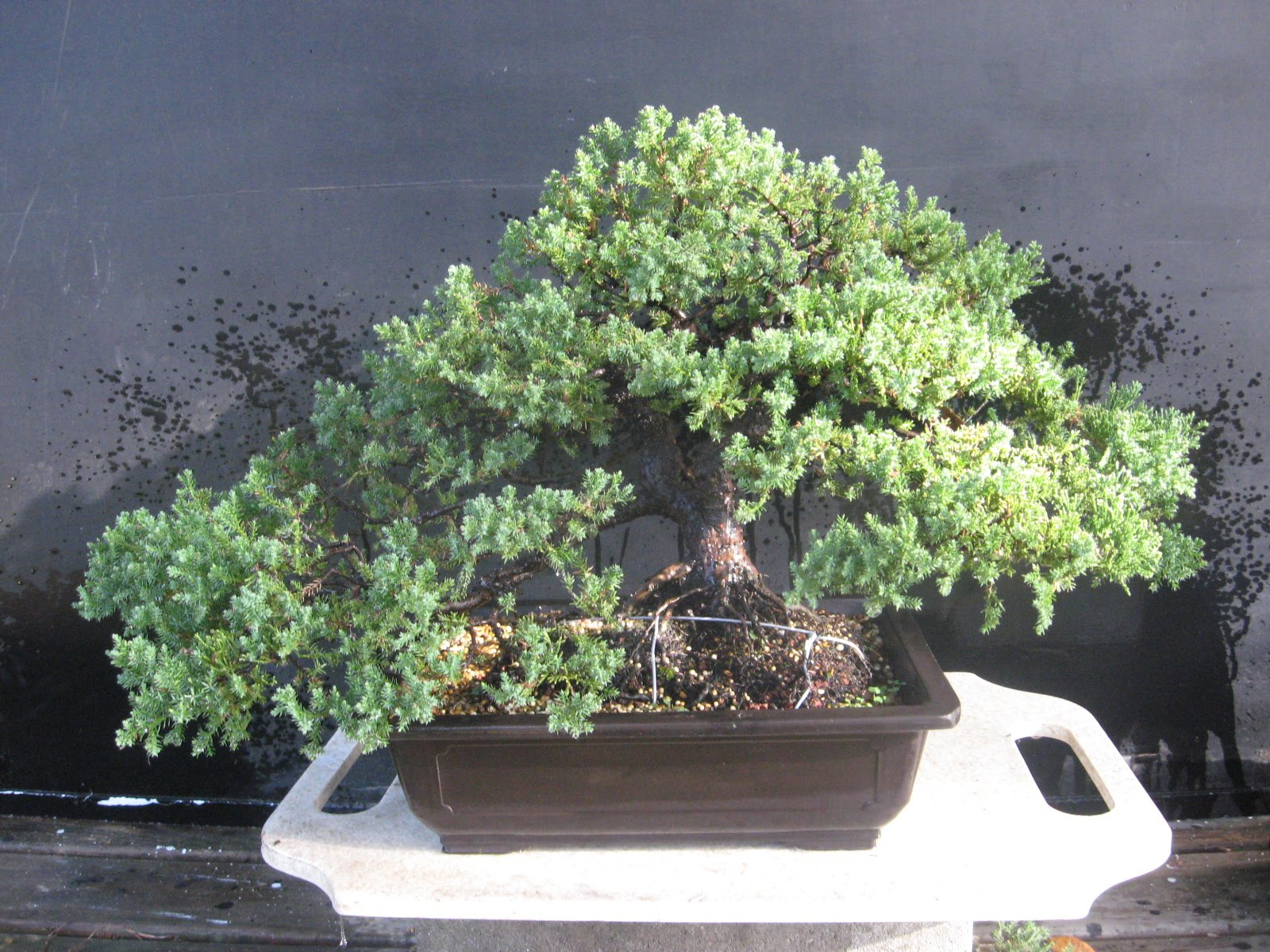Bonsai Beginnings Juniper