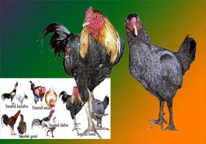 Sejarah asal mula ayam sentul dari daerah Ciamis-Jawa Barat