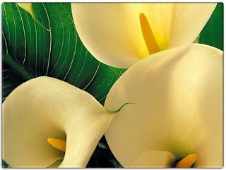 calas Fotografias de flores preciosas