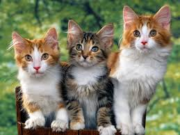 Info Jenis Kucing Paling Langka di Dunia