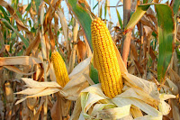 Corn (Credit: Shutterstock) Click to Enlarge.