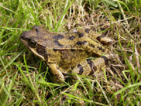 Garden Frog British