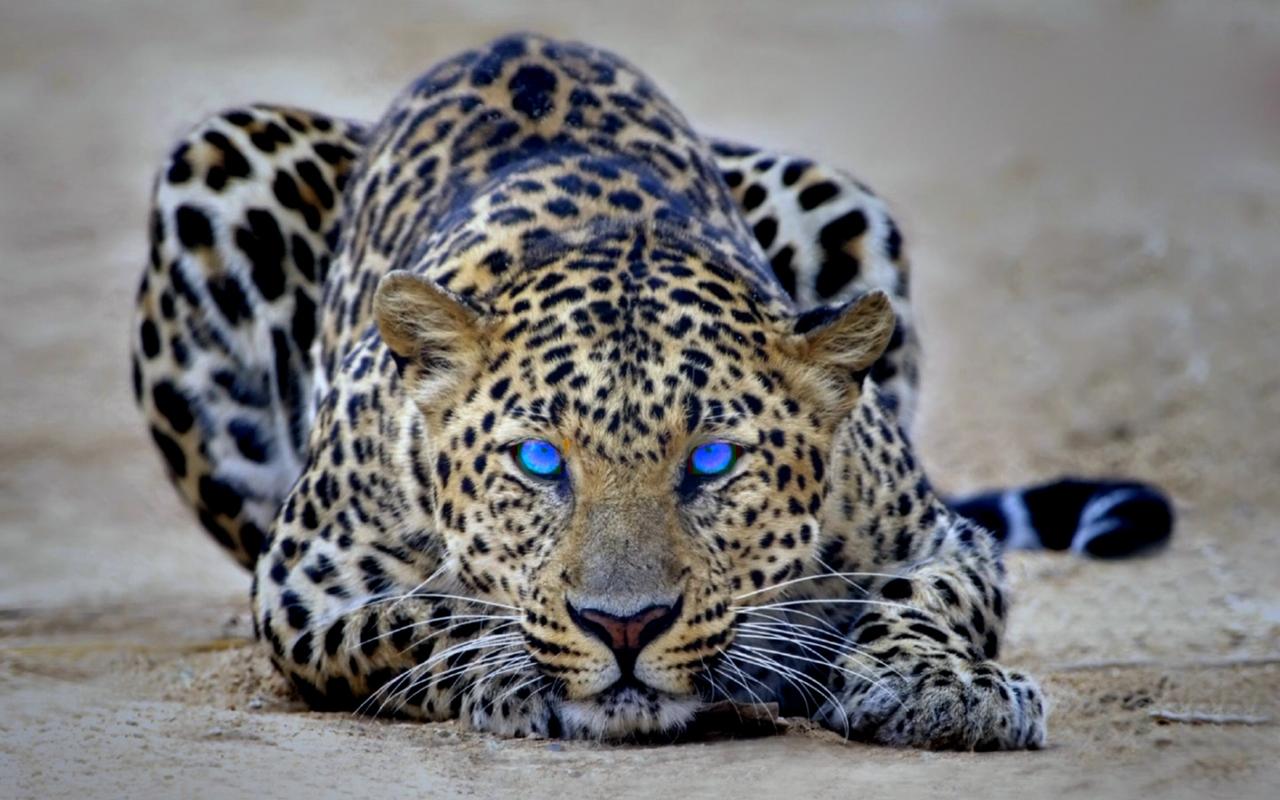 http://1.bp.blogspot.com/-WKjLQLa5aZ8/TqmBYWZlCrI/AAAAAAAAD60/qIc6D4SiulI/s1600/leopard_wallpaper.jpg