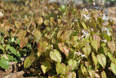 Epimedium pauciflorum
