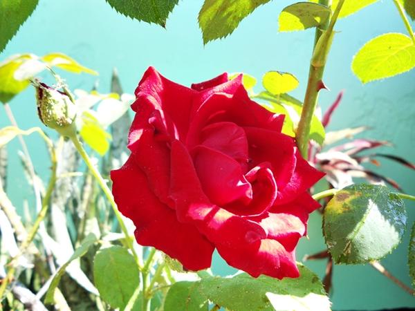 rosa vermelha com botão